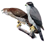 The  Goshawk (bird)